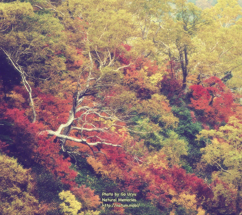 紅葉の中の立ち枯れしたブナ